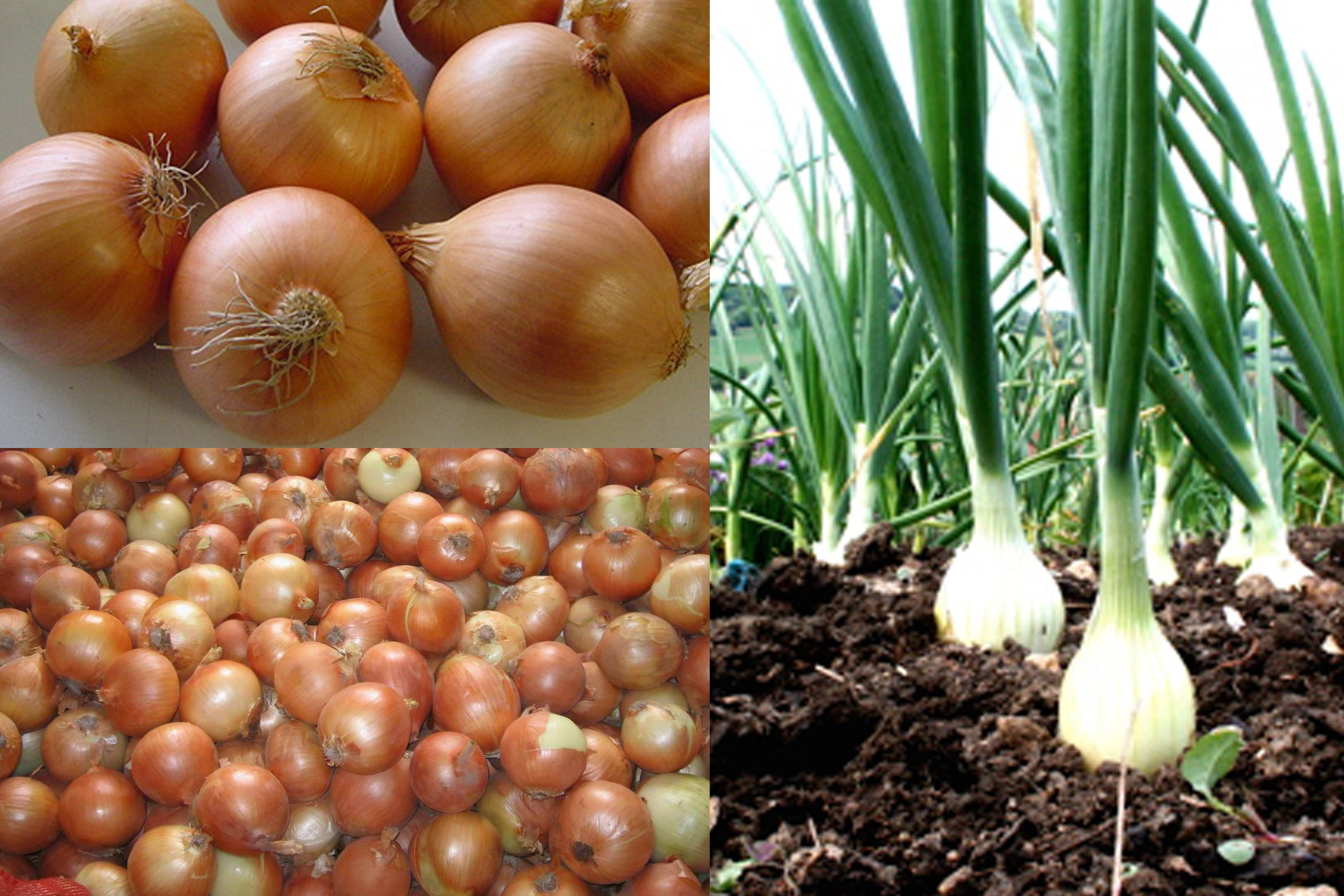 yellow onion 2